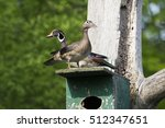 Wood Ducks Pair Nesting In...