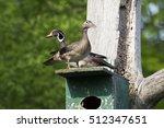 Wood Ducks Pair Nesting In...