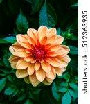 Garden Dahlia Flower In Orange...