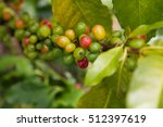 Coffee Berries On A Branch ...