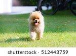 Stock photo puppy pomeranian 512443759