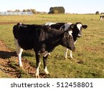 cow standing on green field | Shutterstock . vector #512458801