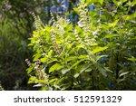 leaves and flower sweet basil ...   Shutterstock . vector #512591329