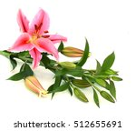 beautiful pink lily  isolated... | Shutterstock . vector #512655691
