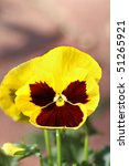 Close up of yellow pansy with extreme shallow DOF. - stock photo