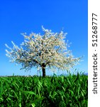 Apple tree in blossom on a spring day - stock photo