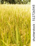 Small photo of Rice farm- Rice field- Rice paddy, rice pants Rice paddy - Jawa, Indonesia
