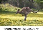 Jumping Kangaroo At A Meadow...
