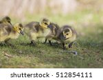 Cute Canada Goose Babies...