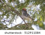 Ruby-crowned Kinglet (Regulus calendula) in spring