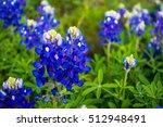 Spring Time Bluebonnet Flowers...