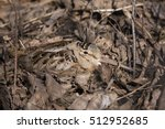 Small photo of Female American woodcock (Scolopax minor) at nest