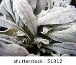 close up of frozen plant   Shutterstock . vector #51312