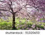 Magnificent, beautiful flowering cherry tree in full bloom - stock photo