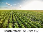 Green Field Of Potato Crops In...
