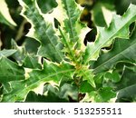 Small photo of Acanthus ebracteatus, Thai herb, is a species of shrubby herb that grows in the undergrowth of mangroves of south-east Asia. Common names include sea holly and holly mangrove