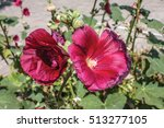 mallow. red hollyhock.... | Shutterstock . vector #513277105