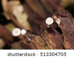 Small photo of Agaricaceae