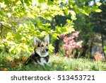 Welsh Corgi Sits In The Thick...