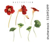 nasturtium  watercolor  can be... | Shutterstock . vector #513492499