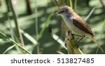 Small photo of African Reed Warbler