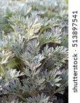 Small photo of Artemisia absinthium (absinthe, absinthe wormwood) in the garden