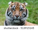Sumatra Tiger Portrait Close U...