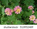 lantana camara flowers with... | Shutterstock . vector #513952489