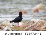 Small photo of African Black Oystercatcher also known as African Oystercatcher (Haematopus moquini) standing on rocks, against a blurred shoreline background, Western Cape, South Africa