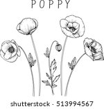 Stock vector drawing flowers poppy flower clip art or illustration 513994567