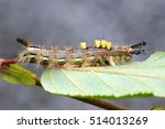 Caterpillar Of Rusty Tussock...