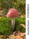 Small photo of Amanita muscaria, a poisonous mushroom in a forest.