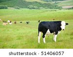 Bull at a pasture in New Zealand - stock photo