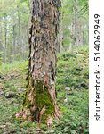 Small photo of Trunk of a sycamore maple (Acer pseudoplatanus) shot in a broad-leaved ravine forest (Slovenia).
