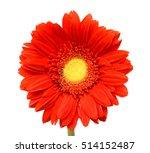 Beautiful Red Gerbera Flower...