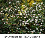 Blooming Cotoneaster In The...