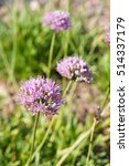 Small photo of Purple shallot onion or allium carinatum flowers