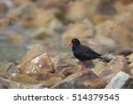 Small photo of African Black Oystercatcher also known as African Oystercatcher (Haematopus moquini) standing on rocks, against a partially blurred background, Western Cape, South Africa