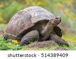 Galapagos Giant Turtle Standin...