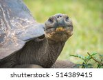 Close Up Of Giant Turtle...