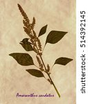 Small photo of Herbarium from pressed and dried flowers and leaves of foxtail amaranth on antique brown craft paper with Latin subscript Amaranthus caudatus.