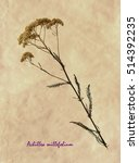 Small photo of Herbarium from pressed and dried flower of common yarrow on antique brown craft paper with Latin subscript Achillea millefolium.