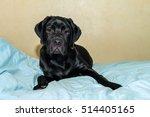 Black Labrador Puppy Relaxing...