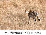 Adult Cheetah Looking Back...