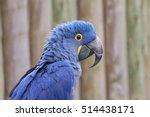 The Hyacinth Macaw  Or...