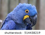 The Hyacinth Macaw  Or...