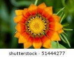 Orange Gazania Flower Close Up...