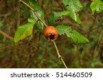 medlar fruit ripe   medlar tree ... | Shutterstock . vector #514460509