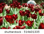 red tulips field | Shutterstock . vector #514601335