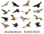 Mix Flying Common Raven  Corvu...